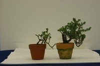 ファミリー盆栽無料セミナー 川崎さん母娘(第35回雅風展)